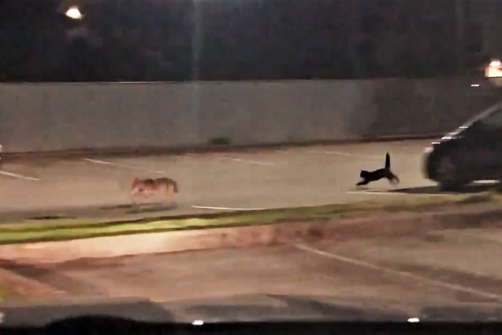 Cat chasing coyote.